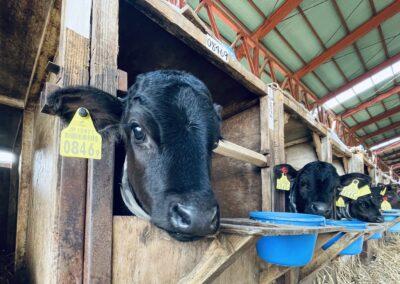 羽田野第ニ牧場_仔牛にネックウォーマを着せている写真